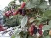 Bramen (doornloos) met super grote vruchten!