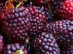 Framboos Purple Dream® met heerlijke aromatische vruchten!