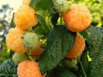 Framboos Sunshine met oranje mooie aromatische vruchten!