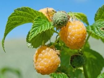 Framboos met mooie gele aromatische vruchten!