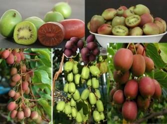 Rode, Groene Kiwi's heerlijke bessen, super vruchten.