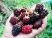 Moerbeien, de vrucht die zo gezond en lekker is.