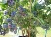 Blauwe bessen gezonde bessen zo uit de tuin