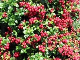 Rode bosbessen heerlijke gezonde zo uit de tuin.