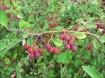 Het Krenteboompje hele gezonde bessen voor in elke tuin.