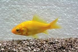 Iedere zondag geopend goudvis geel 1.20 per stuk