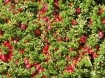 Veenbessen heerlijke gezonde rode bessen