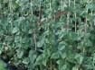 Rubus tayberry is een rode Braam met grote vruchten!