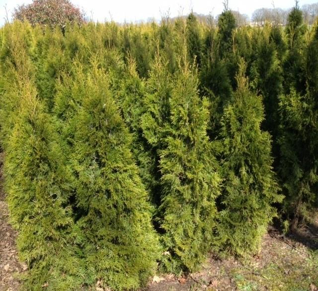 Thuja smaragd coniferen te koop