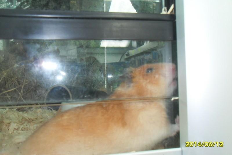 Goud hamster te koop