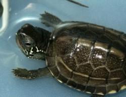 Chinemys Reveesii Driekeelschildpad
