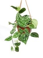 Scindapsus pictus 'Argyraeus 12cm of Hanger — 12cm