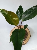 Philodendron Red Conga
