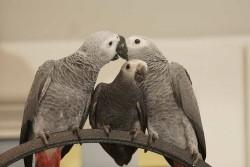 Puppy / jonge en baby grijzenroodstaart papegaaien