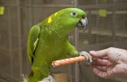 15 soorten amazones bij dennis papegaaien