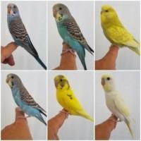 alle kleuren parkieten bij dennis papegaaien €7,95