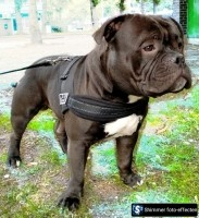 Pocketbully Kenzo anderhalf met stamboom