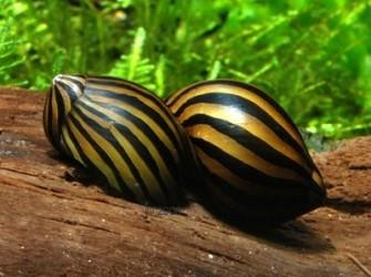 Zebra slak