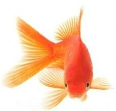 goudvis!