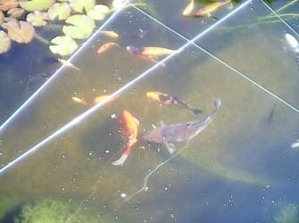 Jonge vijvervissen